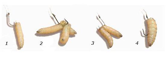 как правильно насадить червя для ловли карася
