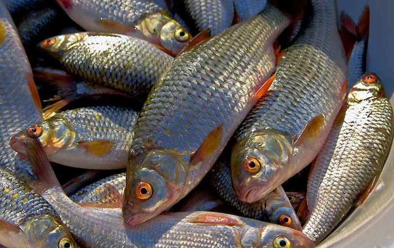 рыболовный календарь на чебака