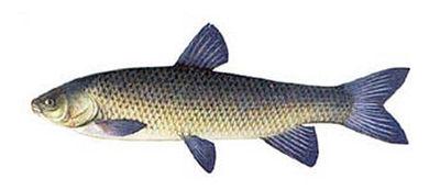 амур фото рыба